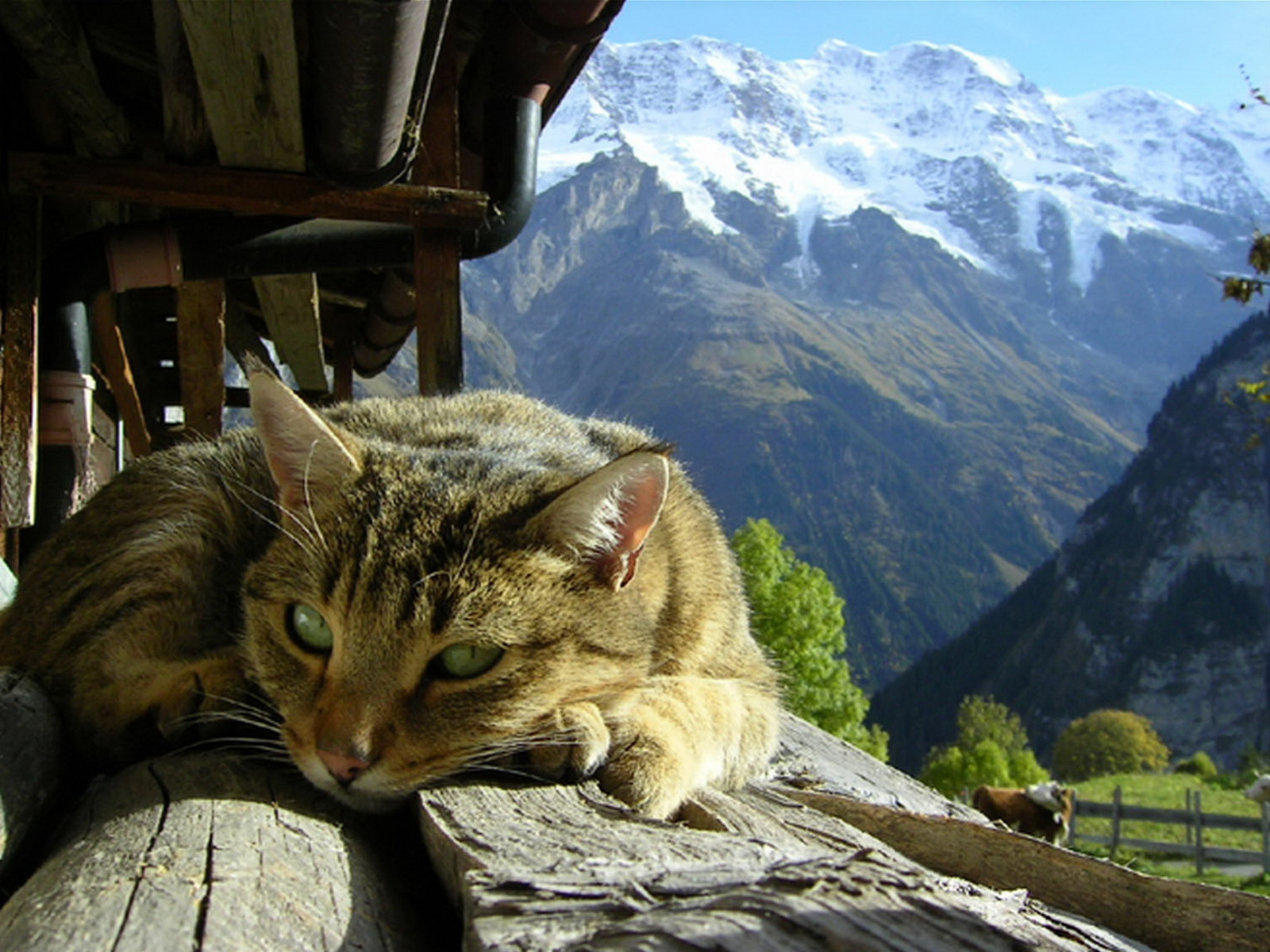 http://4.bp.blogspot.com/-aAs1KLNQKI4/UIUR7jVddHI/AAAAAAAAHww/fT5w5_bH6mo/s1600/mountains_cats_sunlight_hut_alps_cat_desktop_1600x1200_hd-wallpaper-602654.jpeg