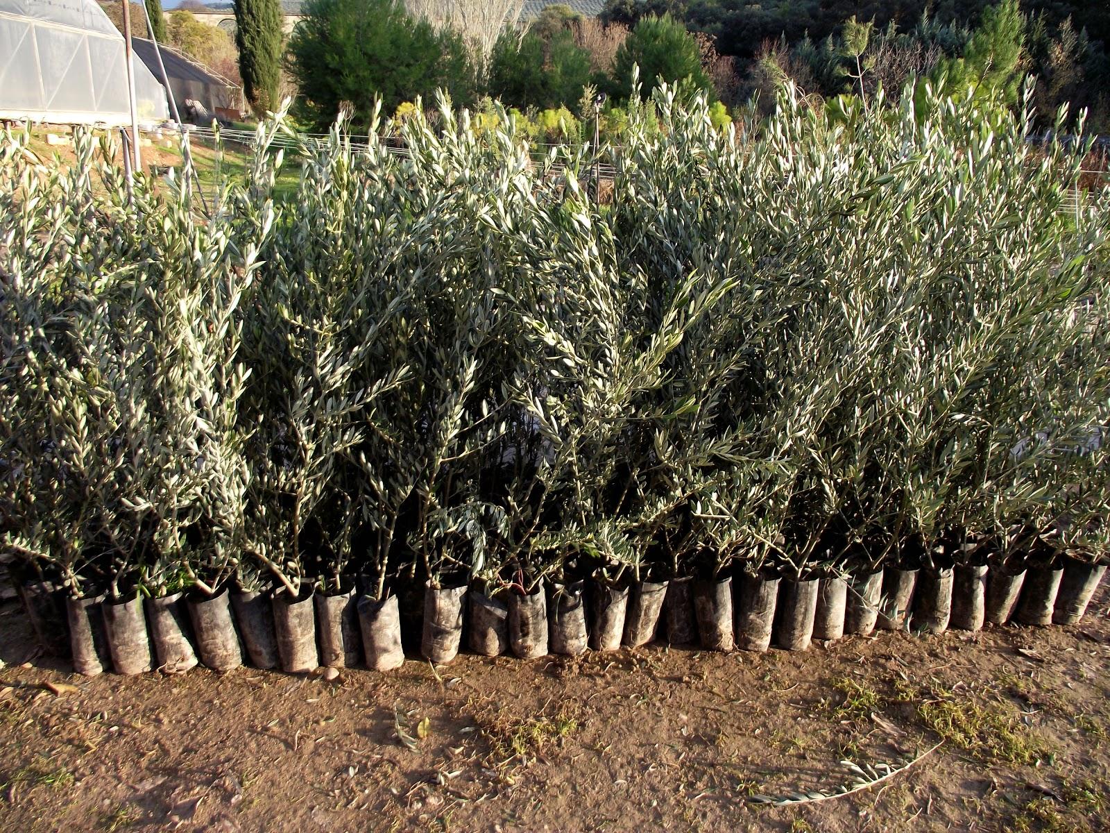 Viveros cortijo grande rboles frutales for Viveros de arboles en madrid