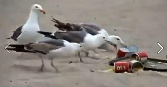Pusieron laxante en comida a las gaviotas