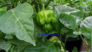Trinidad Butch T Scorpion, superhotchiles.com
