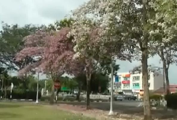 musim bunga kedah 2015