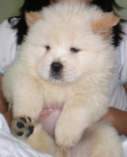 Chow Chow Puppy Picture