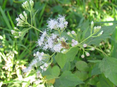 Cách chữa trị bệnh viêm xoang mũi bằng cây cỏ hôi