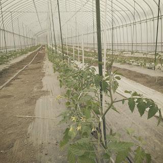 トマトを植えました