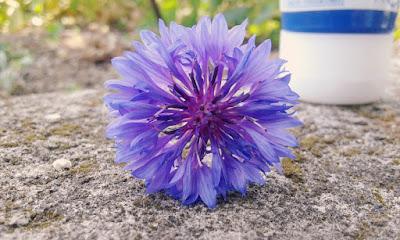 Oeillet bleu Fleur été