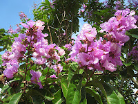 Daun Banaba / Bungur (Lagerstroemia speciosa)