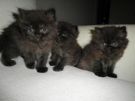 1300721869_179588331_2-Adorable-Persian-Kittens-for-SALE-Animals.jpg
