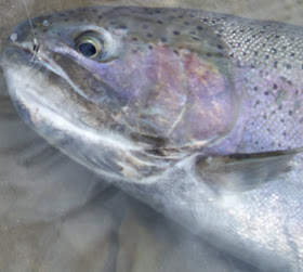 Steelhead Alley River Reports