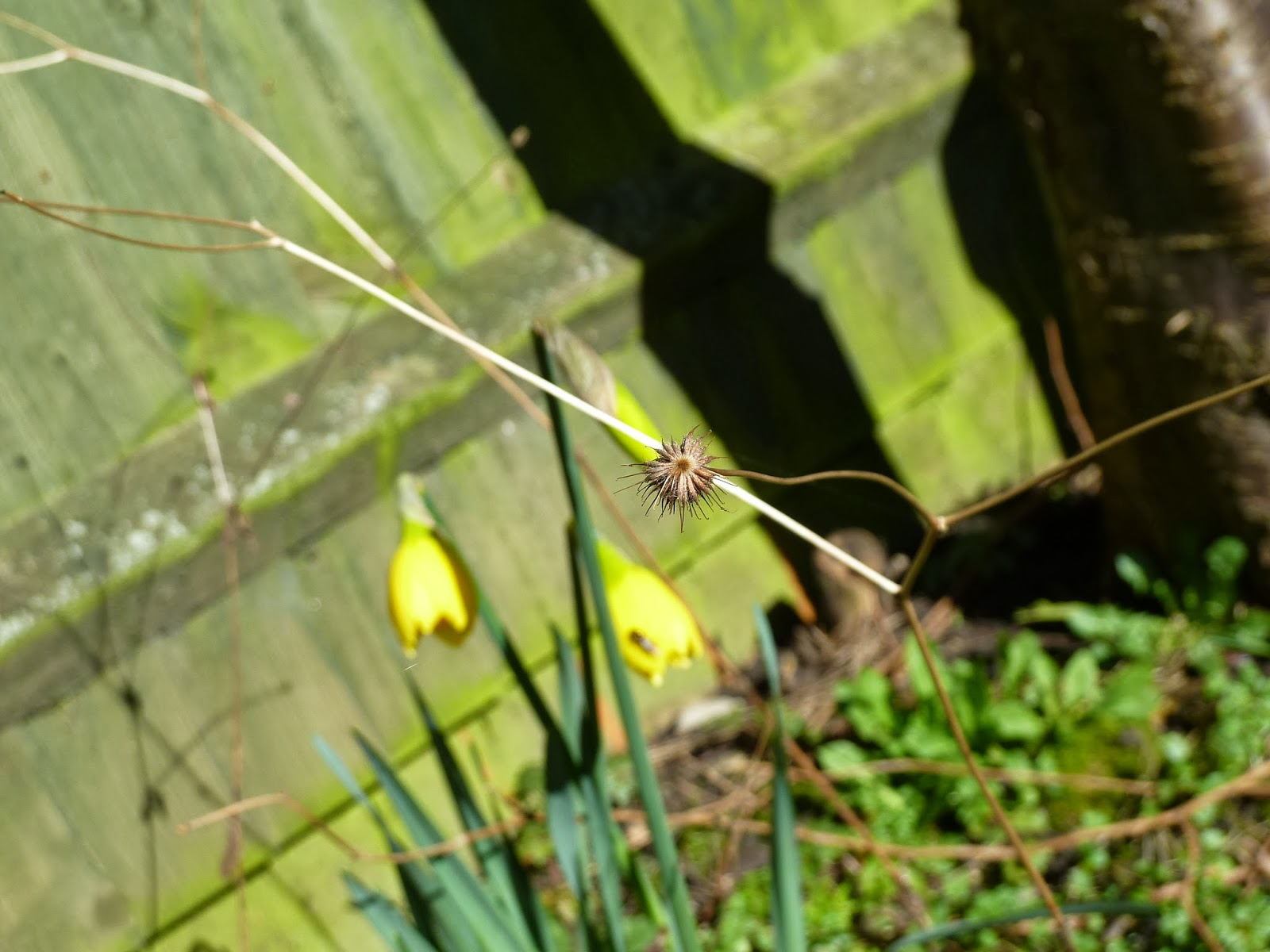 Seedhead and daffodil buds