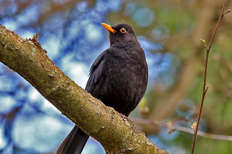 Fotos - Bilder - Tiere - Tierfotos - Vögel - Vogelfotos - Amsel