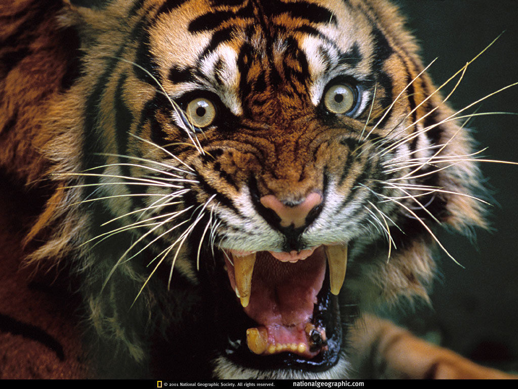 angry tiger photos - photo #2