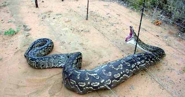 Book Of World Records: Largest Snake/Biggest Snake In The ...