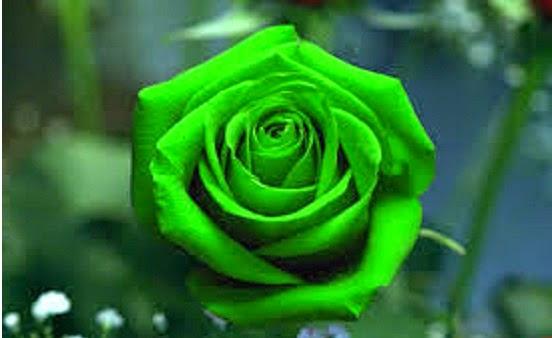 Mawar%2Bwalpeper - Macam Macam Jenis Bunga Mawar