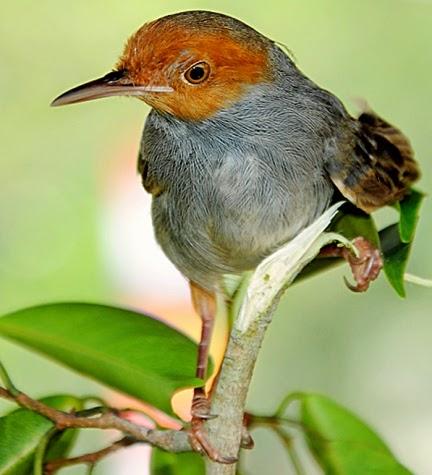 Foto Burung Prenjak Terbaik