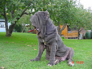 The Neapolitan Mastiff is not a brand for a lot of people, and absolutely .