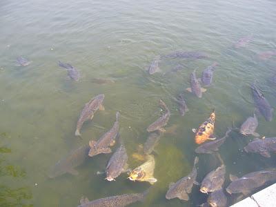 万博公園・日本庭園・鯉