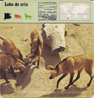 Blog Safari Club, el Lobo de crin, parece un Zorro zanquilargo