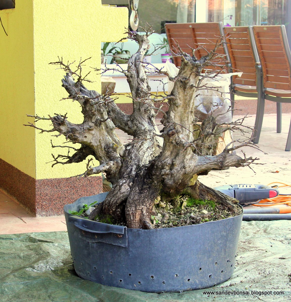SandevBonsai Monster QuotOctopusquot Carpinus Repotted In A Bonsai Pot