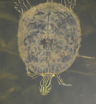 Peninsula Cooter (Pseudemys peninsularis)