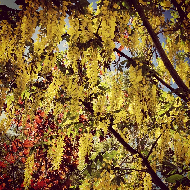 yellow chain laburnum tree