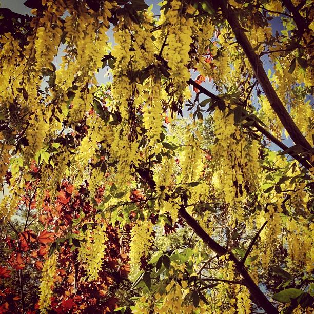yellow chain laburnum tree