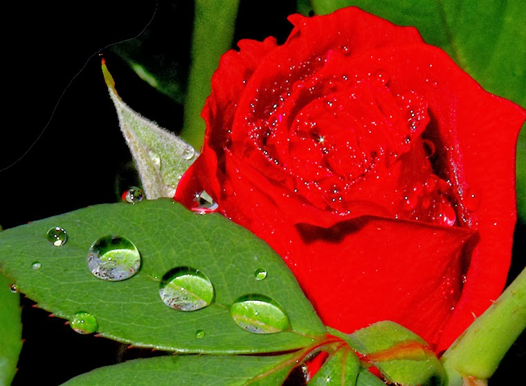 Red Roses, part 6