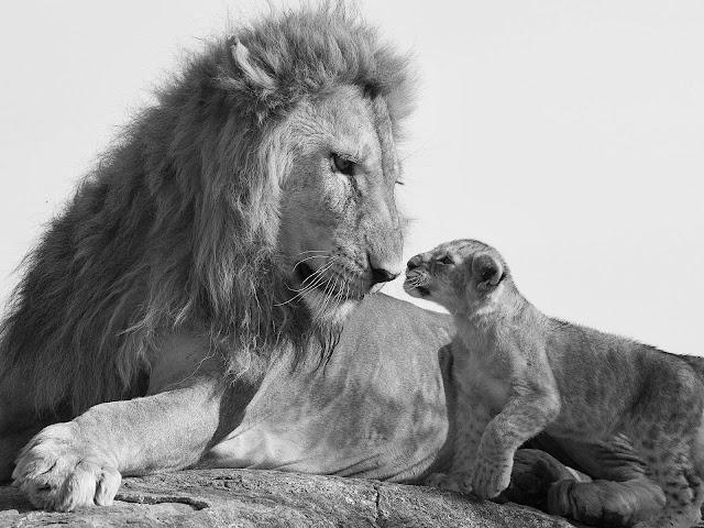 лев и львёнок