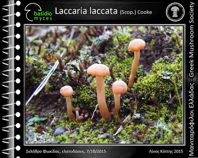 Laccaria laccata (Scοp.) Cooke