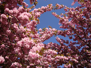 cherry blossoms new york