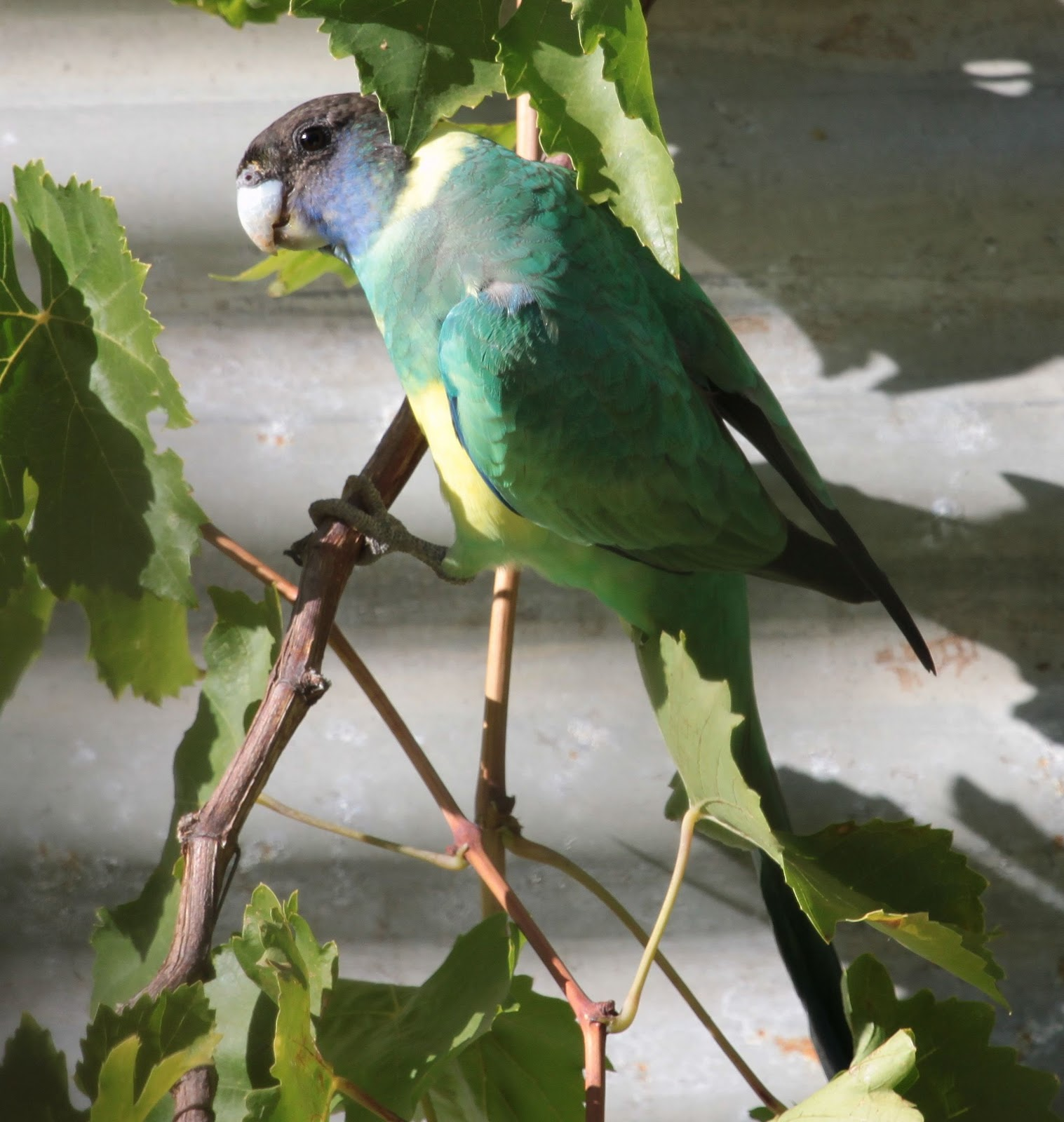 richard waring u0027s birds of australia photos of birds in the backyard