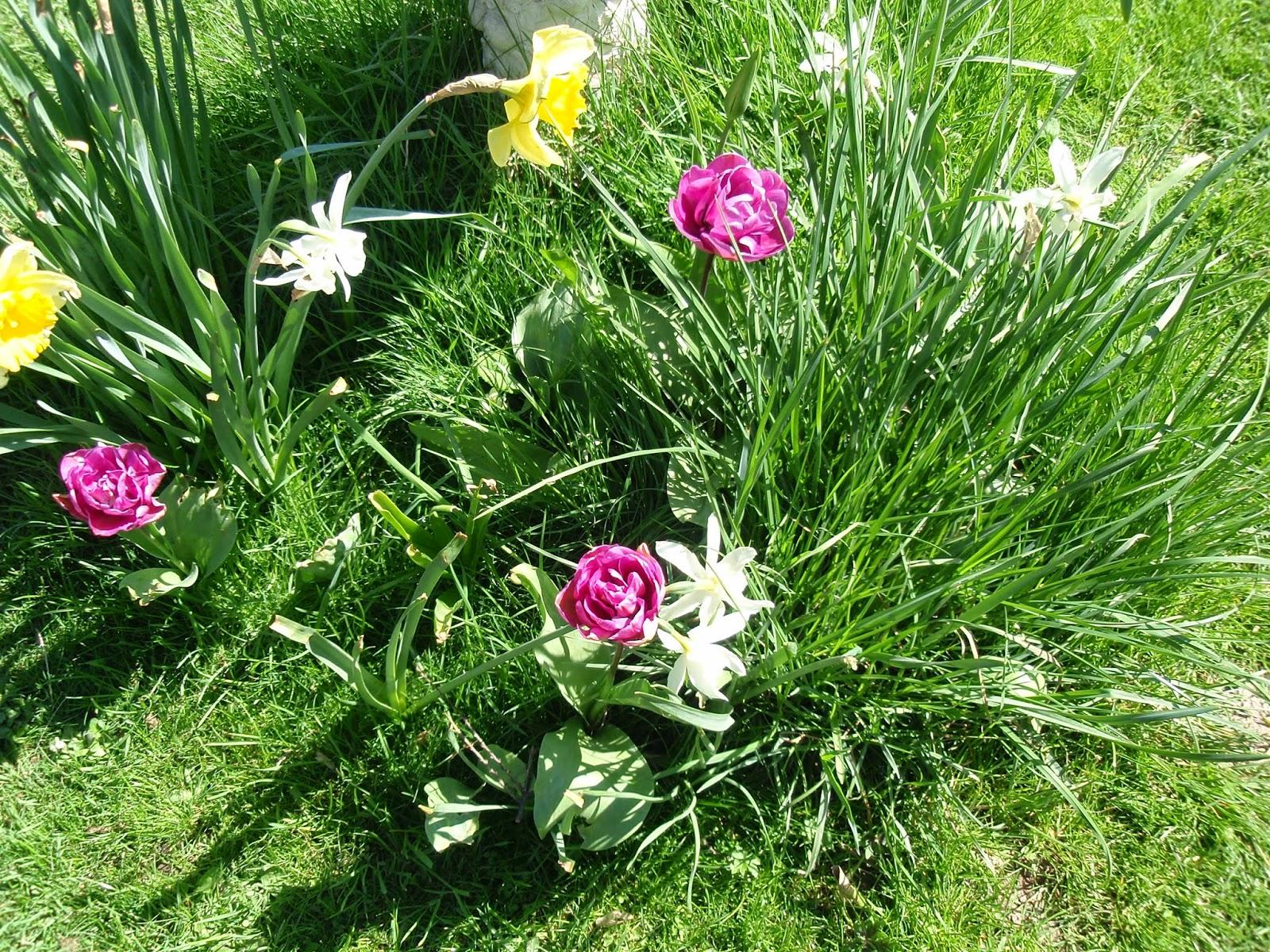 Tulips and narcisus
