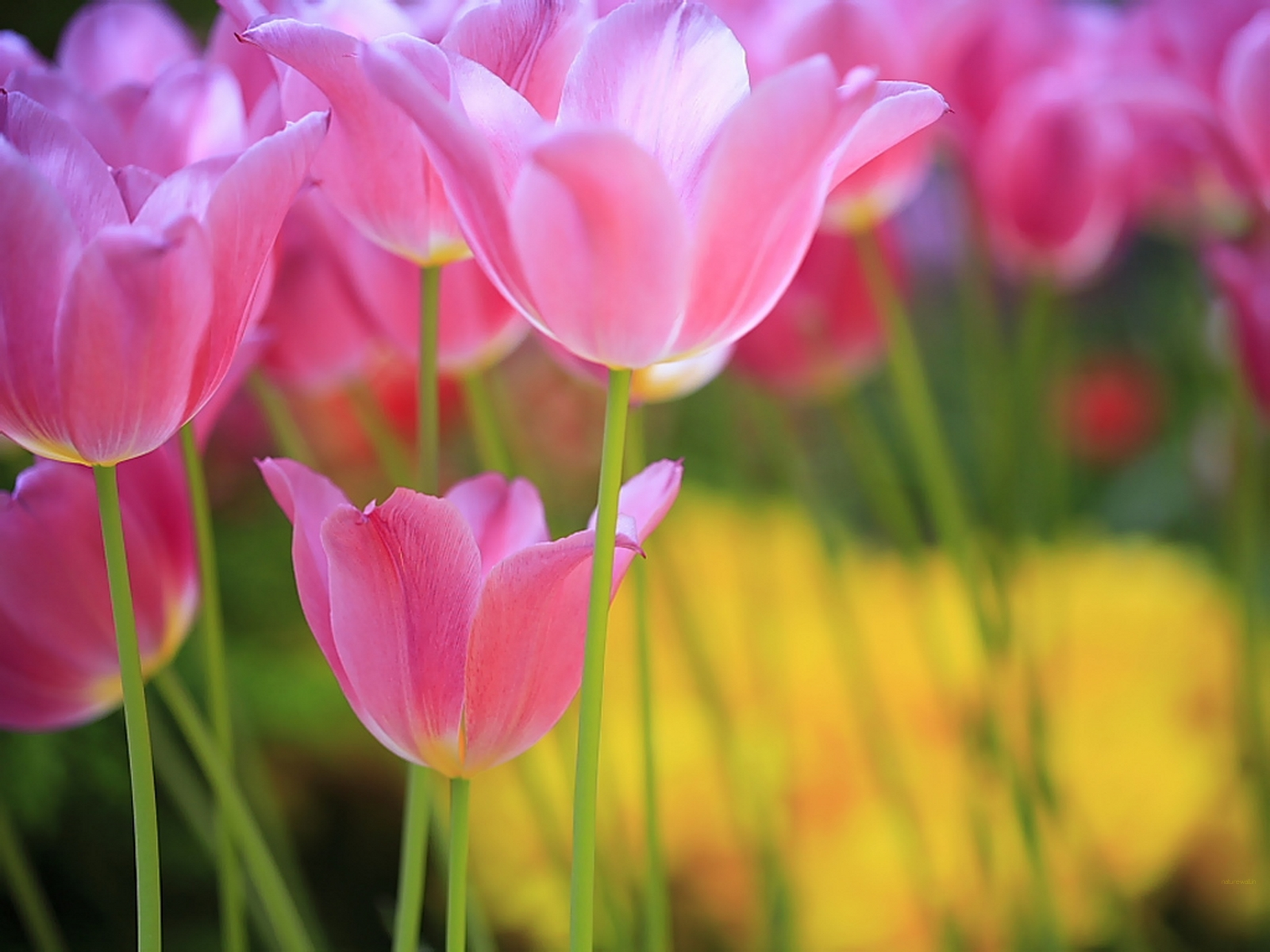 http://4.bp.blogspot.com/-aGEeJlEC75A/T_-R91rzAVI/AAAAAAAAARE/es9TMc5lrfs/s1600/shiny-purple-tulips.jpg