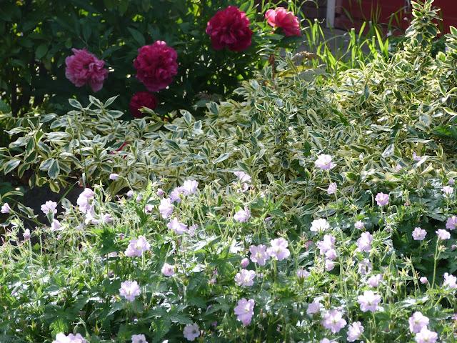 geranium peony euonymous