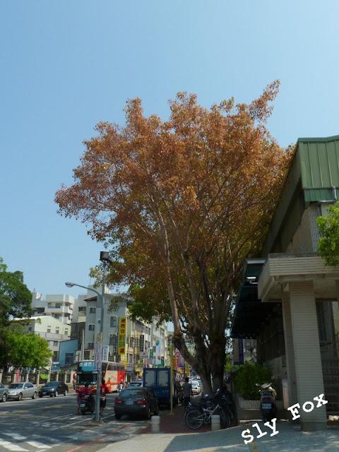 台南一中菩提樹