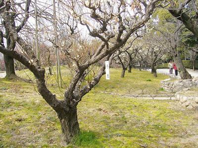 兵庫県・伊丹市 緑ヶ丘公園の梅 冬至