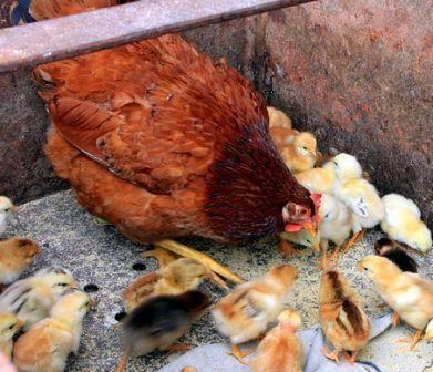 Cara Memberi Makan Anak Ayam Umur 1 Hari Sampai 2 Bulan Ternak Ayam