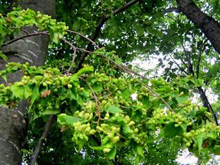 ケヤキの葉の虫コブ