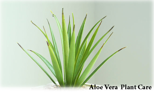 Plants care guide how to caring the aloe vera plants - Aloe vera plante utilisation ...