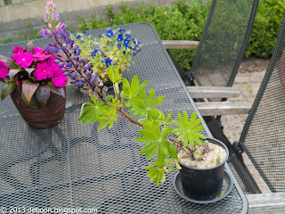 Lupine in pot