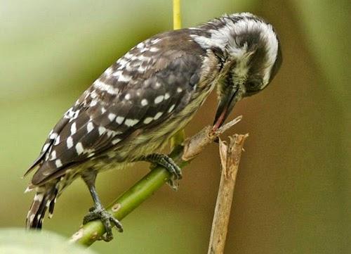 Alat Komunikasi Burung Pelatuk Dunia Afrina