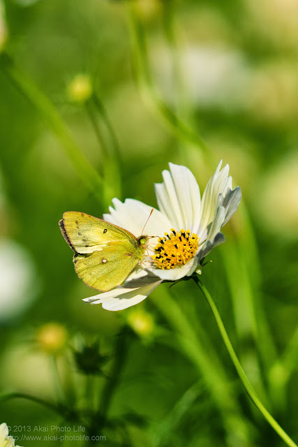 昭和記念公園の黄色いコスモスと蝶