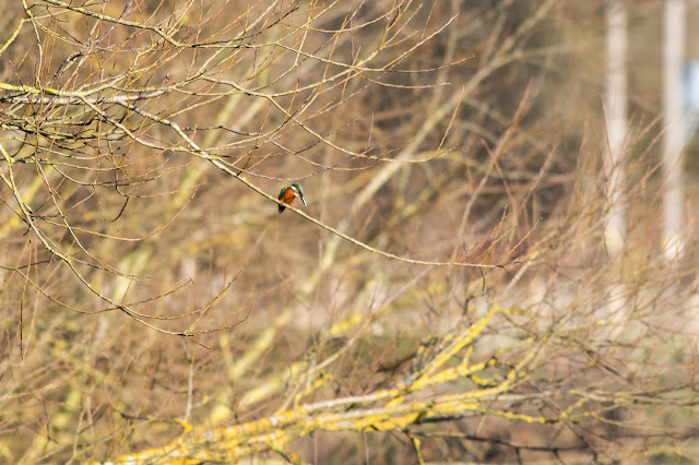 A very poor kingfisher photo
