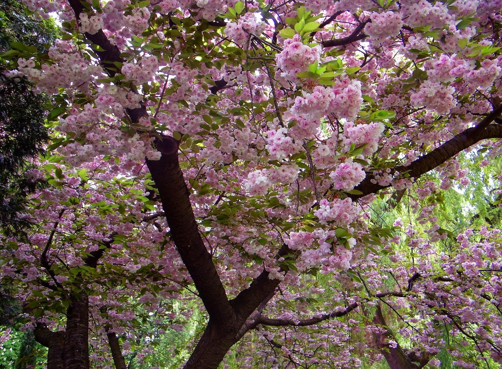 Wiśnia japońska,wiosna, Wrocław, ogród botaniczny