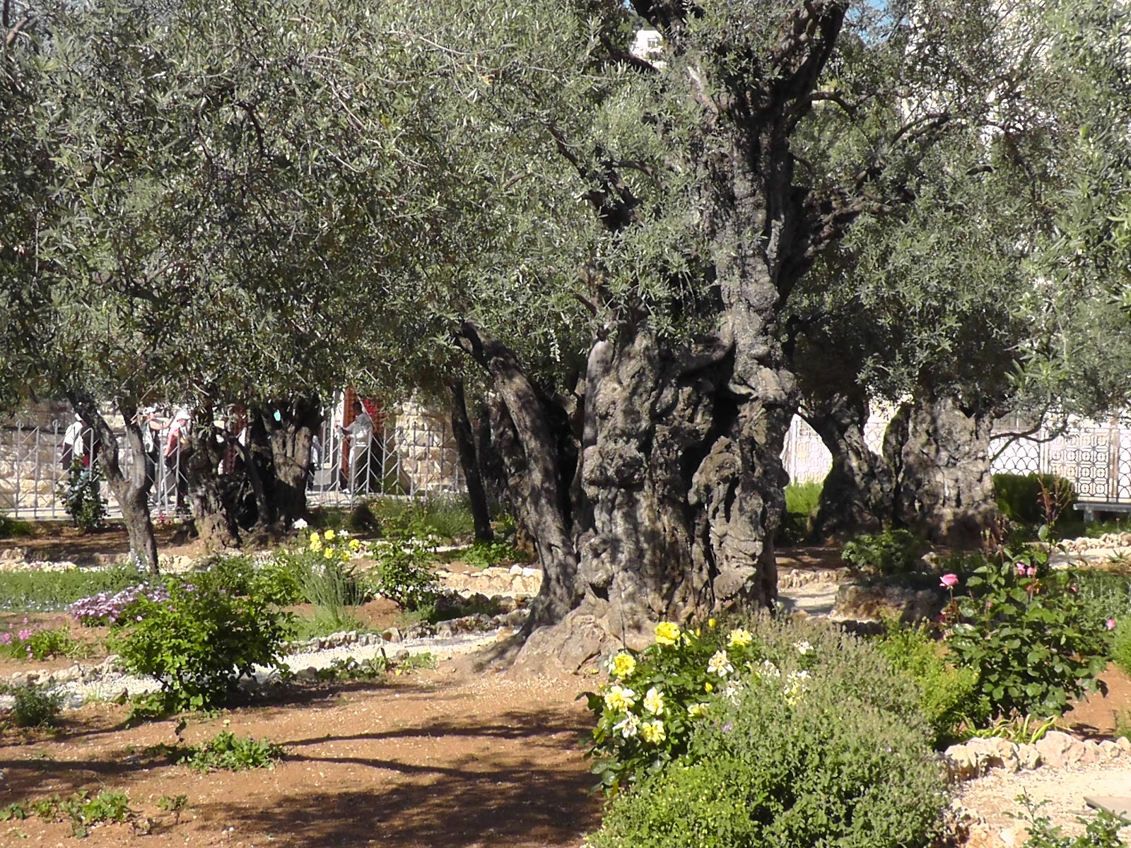 Mount zion 2012 come go up to thethe mount of olives and garden of gethsemane for Come on down to the olive garden