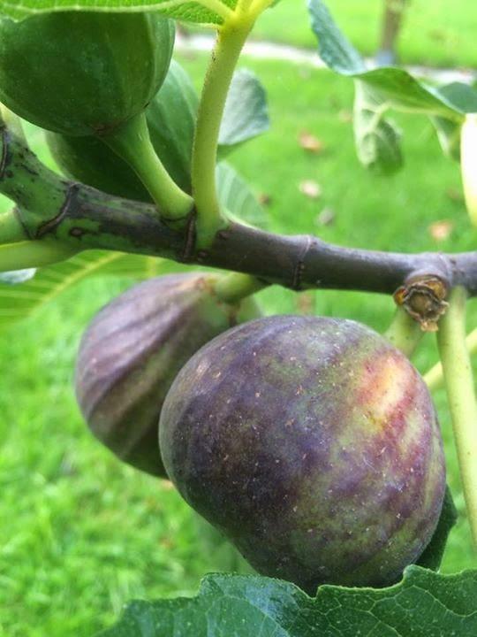Madeleine de deux Saisons Figs