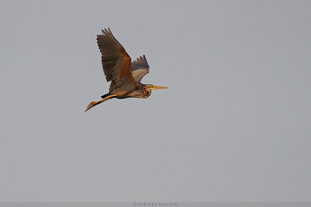 Purperreiger - Purple Heron - Ardea purpurea