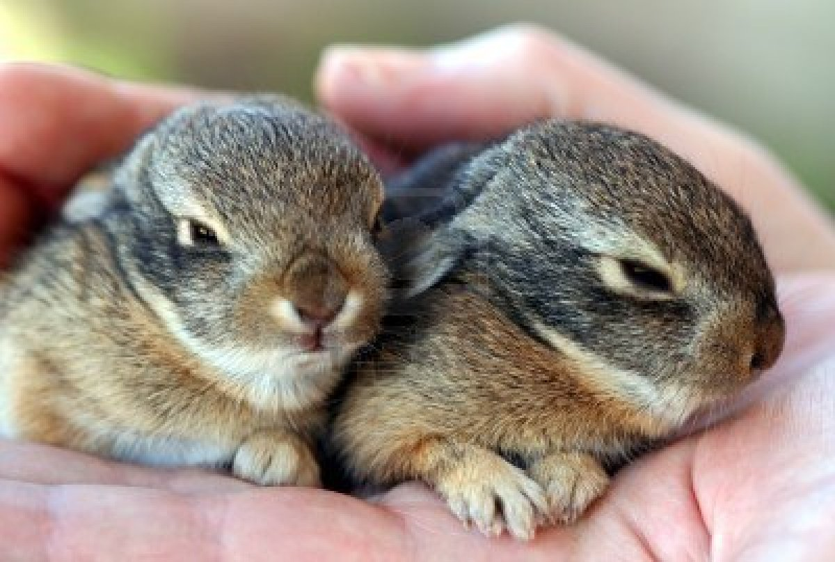 Baby cottontail rabbit - photo#5