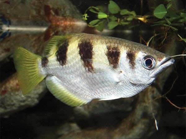 Akvaryum okçu balığı hakkında bilgi