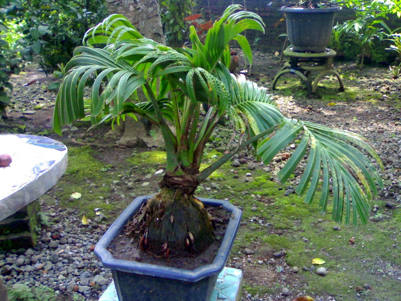 Jual pohon kelapa bonsai | pohon kelapa hijau | kelapa kuning | kelapa gading | suplier tanaman