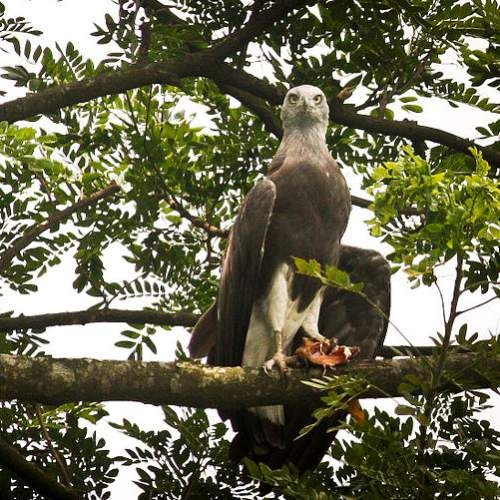 Indian birds - Image of Grey-headed fish-eagle - Icthyophaga ichthyaetus